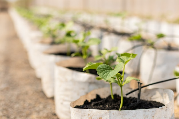 Rząd młody zielony melonowy treea w białej rozsadowej torbie