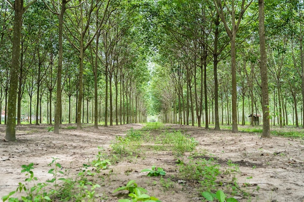 Rząd para gumowy drzewo ogród