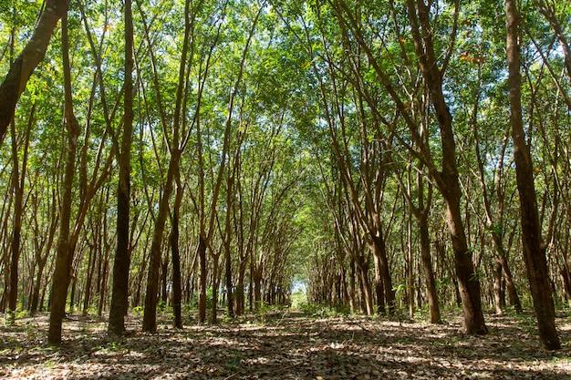 Rząd para gumowy drzewo. tło plantacji gumy