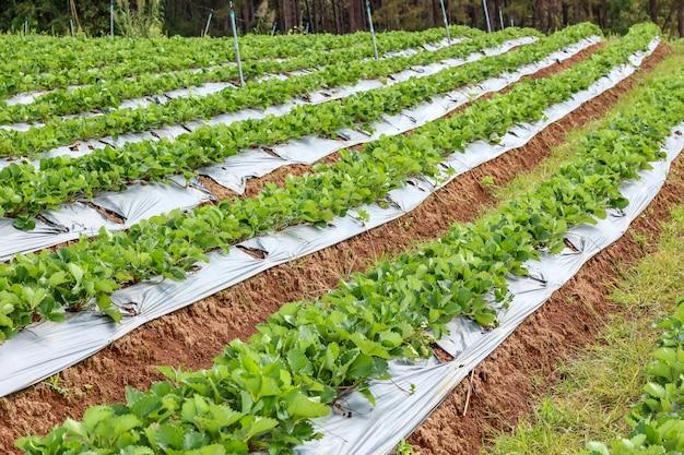 Rząd truskawkowego ogródu pole w tajlandia