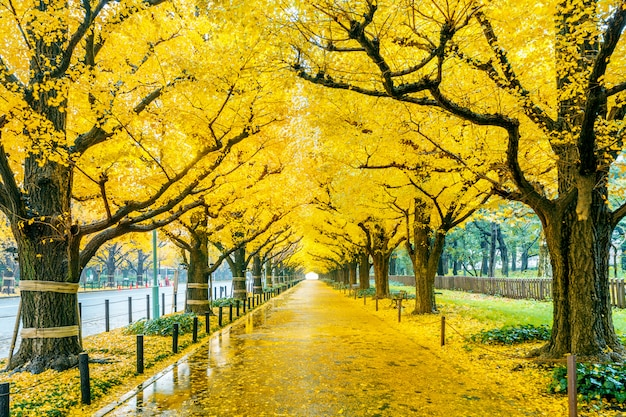 Rząd żółty ginkgo drzewo w jesieni