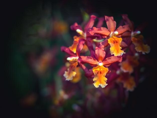 Rzadka ozdobna orchidea. kwiat małych różowych storczyków, członek rodziny storczyków (orchidaceae).