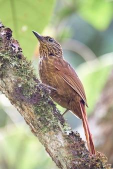 Rzadki brown i prążkowany ptasi odprowadzenie w drzewie