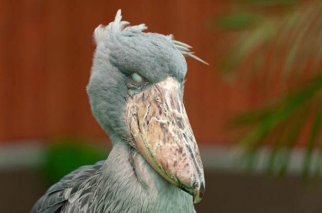 Rzadki i egzotyczny duży ptak shoebill balaeniceps rex, znany również jako bocian wielorybi lub bocian w butach przewracający oczami