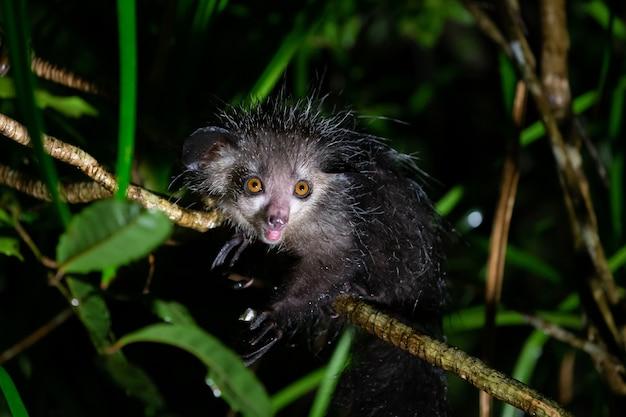 Rzadki lemur aye-aye, który jest tylko nocny