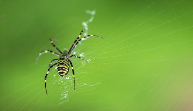 Rzadki pająk ogrodowy siedzi na sieci, duży plan na zieleni
