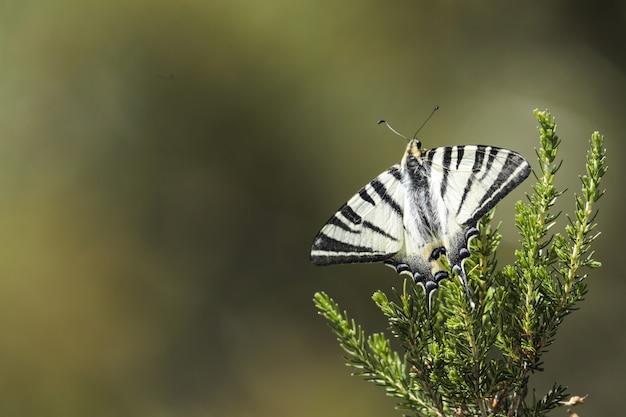 Rzadki swallowtail, iphiclides podalirius
