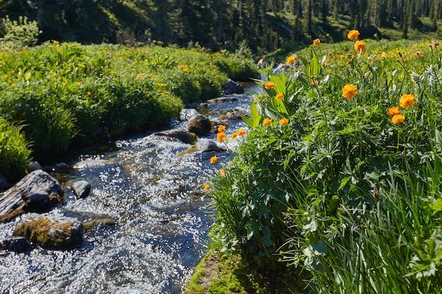 Rzadkie górskie rośliny i kwiaty rosną w pobliżu górskiego potoku w pogodny, słoneczny dzień