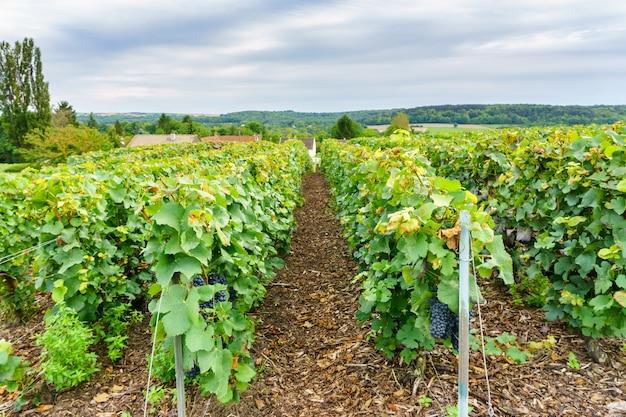Rzędu winogradu winogrono w szampańskich winnicach przy montagne de reims, francja