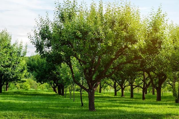 Rzędy gruszy w letnim sadzie