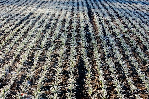 Rzędy kiełków pszenicy pokryte mrozem