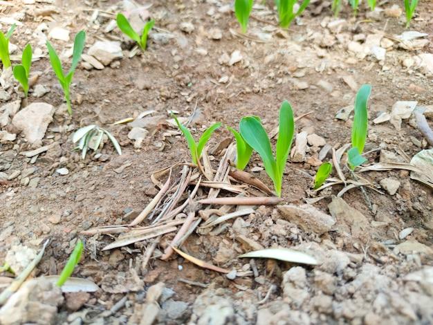 Rzędy kukurydzy kiełkują i rosną na polu