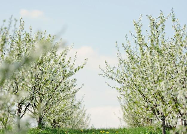 Rzędy pięknie kwitnących wiśni na zielonym trawniku