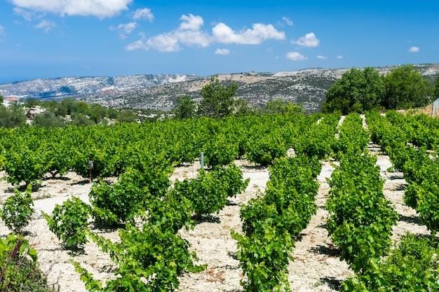 Rzędy pięknych krzewów winnic u podnóża góry