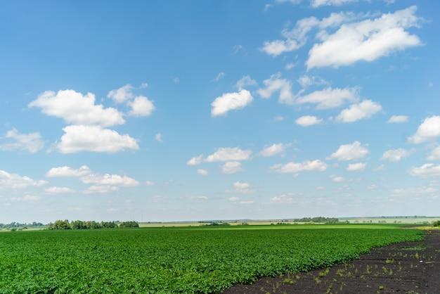 Rzędy pola ziemniaków z zielonymi krzewami z bliska
