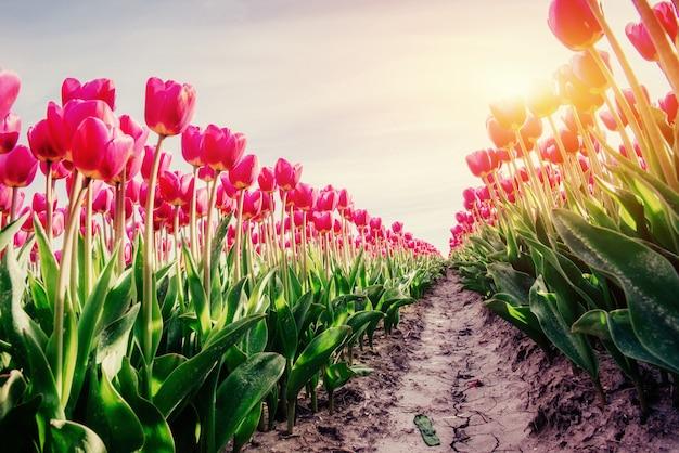 Rzędy różowi tulipany w holandia.