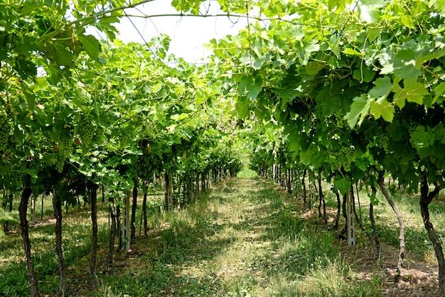 Rzędy trellised winorośli