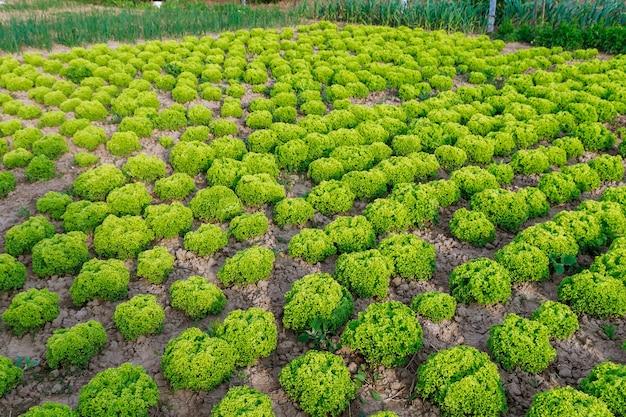 Rzędy uprawy świeżej sałaty zielonej liściastej w gospodarstwie ekologicznym