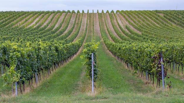 Rzędy winogron przed zbiorem