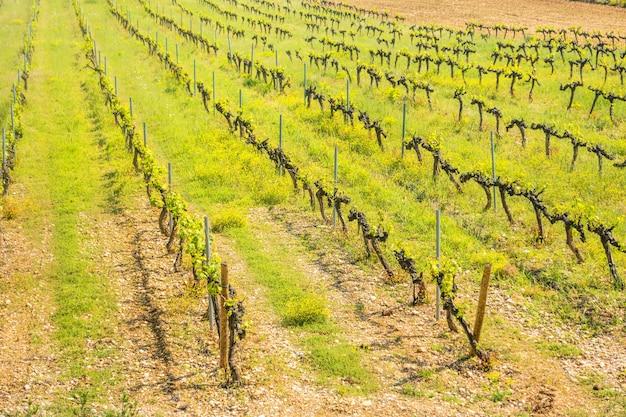 Rzędy winogron w europejskiej winnicy o zachodzie słońca