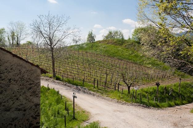 Rzędy winorośli i drzew oliwnych na wzgórzu w pobliżu ścieżki trekkingowej