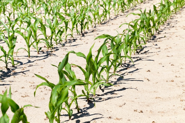 Rzędy zielonej kukurydzy w sezonie letnim lub wiosennym, zbliżenie z pola uprawnego