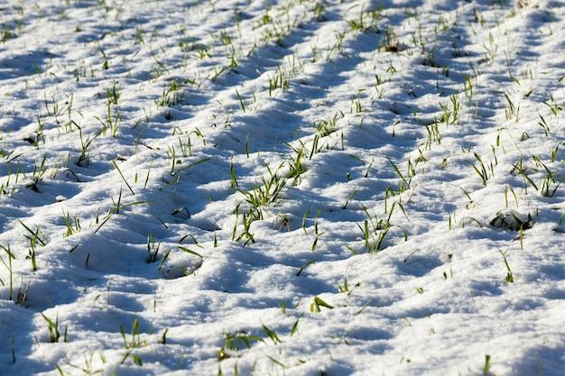 Rzędy zielonej pszenicy ozimej w zimowym polu uprawnym. zbliżenie zdjęcia, widok z boku. mała głębia ostrości