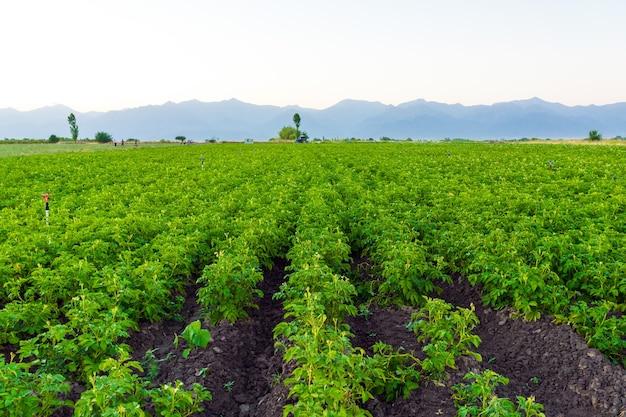 Rzędy ziemniaków na polu w gospodarstwie