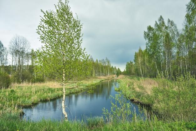 Rzeka płynąca w brzozowym zagajniku