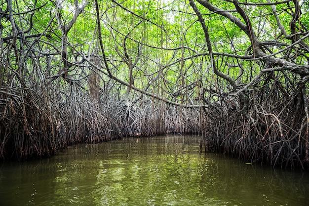 Rzeka w dżungli i tropikalne namorzyny na cejlonie. krajobraz sri-lanki