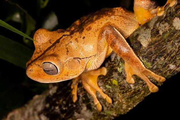 Rzekotka kowala, żaba kowala lub żaba kowalska (hypsiboas faber lub boana faber) to gatunek żaby z rodziny hylidae..