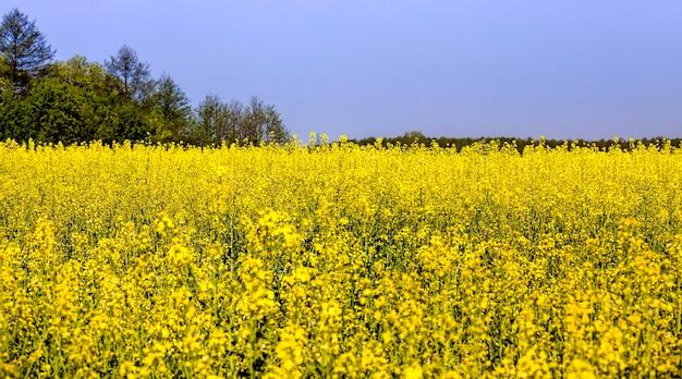 Rzepak kwitnący na żółto