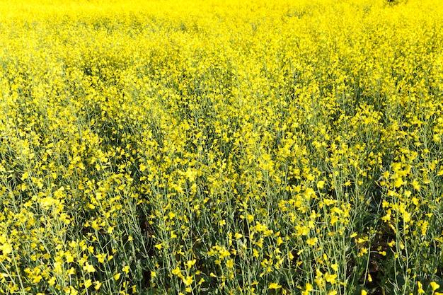 Rzepak na polach uprawnych