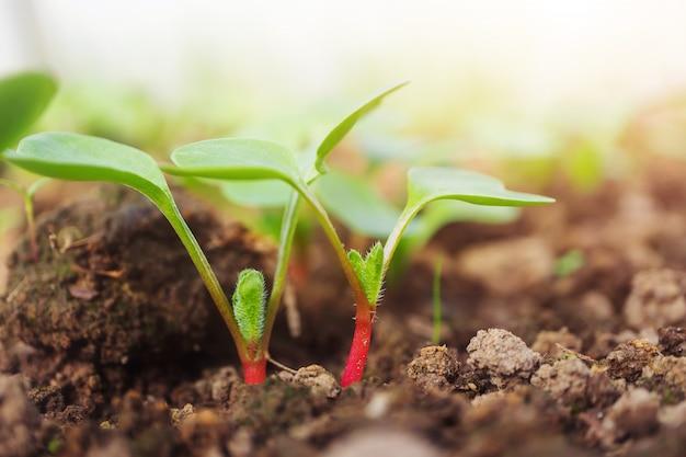 Rzodkiew kiełkuje w glebowym zbliżeniu. pojęcie uprawy warzyw, mikrogreenów. copyspace.