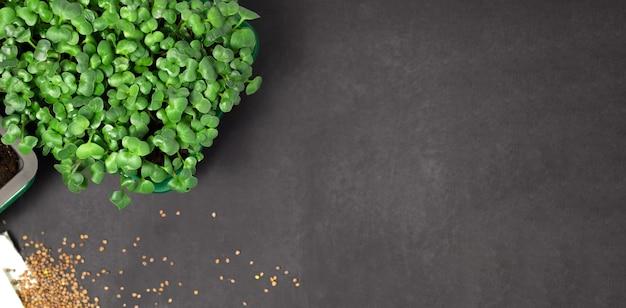 Rzodkiewki mikro-zielonki w czarnych mikro-zielonych rzodkiewkach rosnących w pudełku zdrowego stylu życia