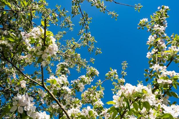 Sad jabłkowy w rozkwicie wiosną pod słońcem i błękitnym niebem