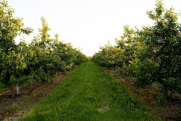 Sad lub ogród jabłoni latem z błękitnym niebem i białymi chmurami