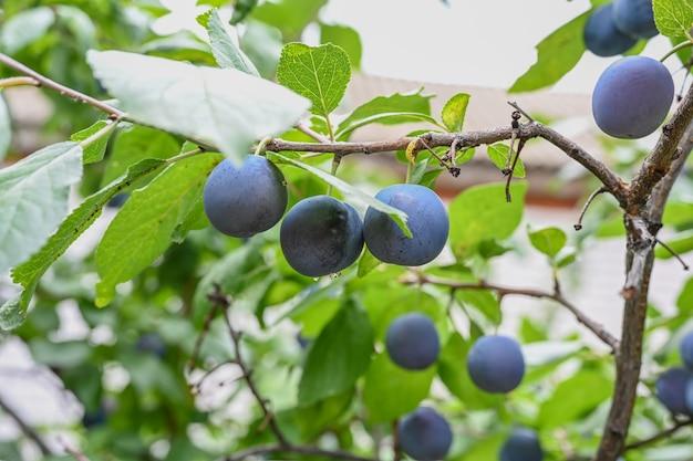 Sad śliwkowy ze śliwkami rosnącymi na drzewie śliwkowym.