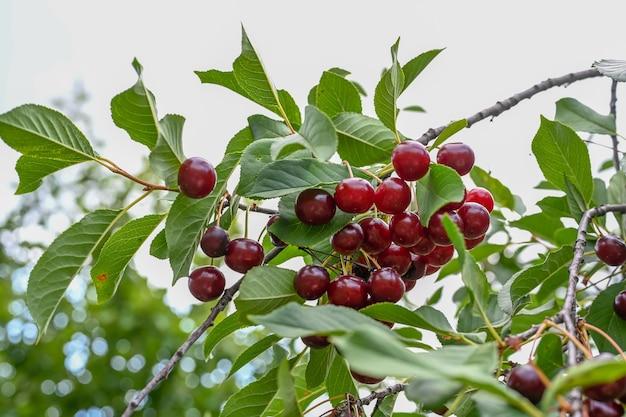 Sad wiśniowy z wiśniami rosnącymi na wiśniowym drzewie w słoneczny dzień.