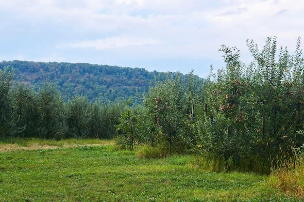 Sady jabłoni z dojrzałymi owocami w dolinie u podnóża zalesionego wzgórza