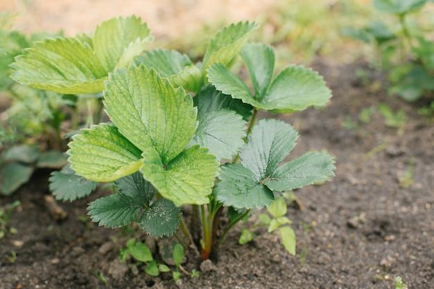 Sadzenie farm truskawek ekologicznych bez nawozów. liście truskawek ,. selektywna ostrość