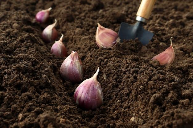 Sadzenie i uprawa czosnku w ziemi w grządkach metodą liniową jesienią lub wiosną