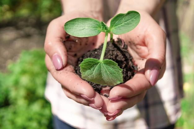 Sadzenie kiełków roślin w ziemi. sadzonki w rękach rolnika kobiety. pojęcie ekologii i rolnictwa. podwórko w domu.