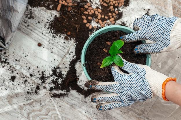 Sadzenie rośliny doniczkowej kiełkuje w doniczce