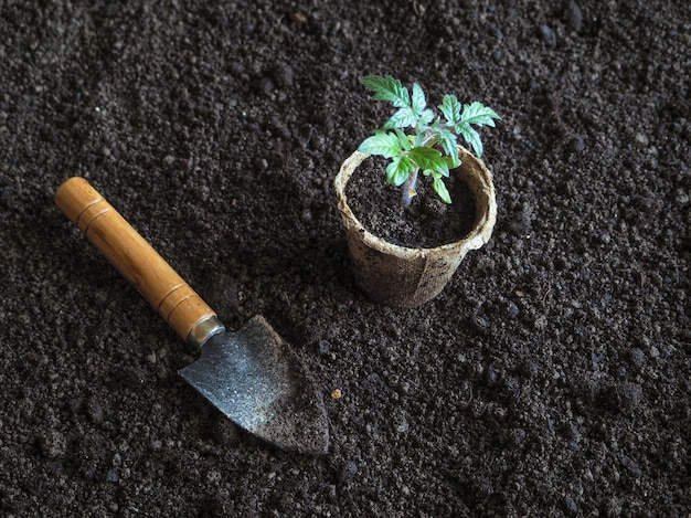 Sadzenie sadzonek pomidorów w ziemi.