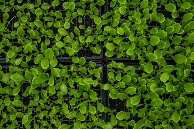 Sadzenie sadzonki zielonej sałaty w czarnej plastikowej tacy w szkółkach roślin