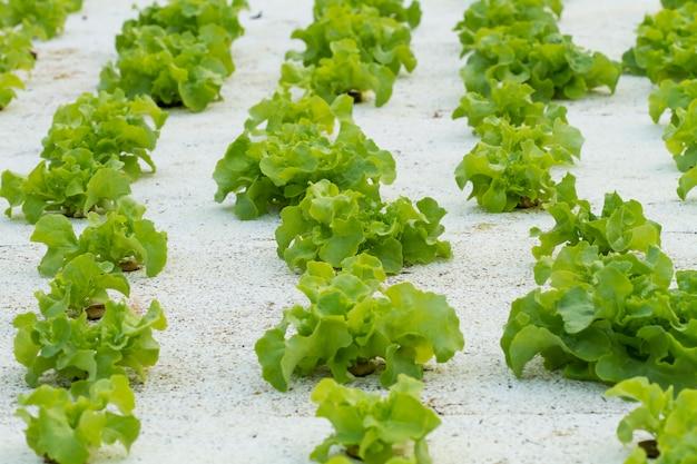 Sadzenie sałatek warzywnych przez hydroponikę technologii