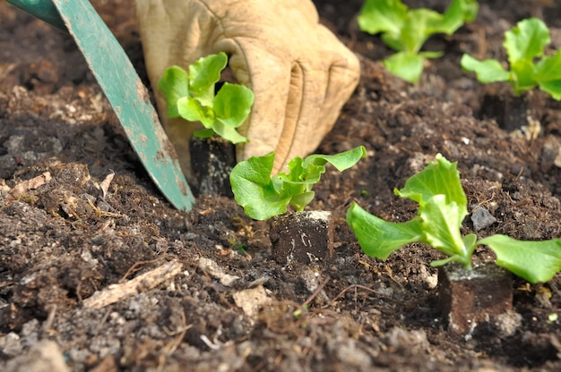 Sadzenie sałatki