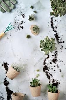Sadzenie soczystych roślin sempervivum, widok z góry na kamiennym stole