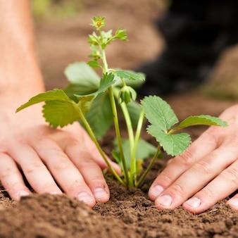 Sadzenie truskawek w ogrodzie